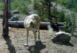 Wolf at the Grizzly & Wolf Discovery Center