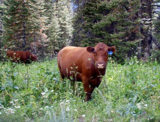 Curious Cow...Wildlife or domesticlife?