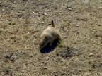 Prairie Doggie