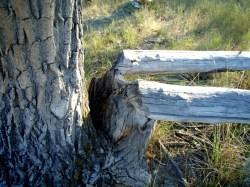 Beaver in Badlands!?