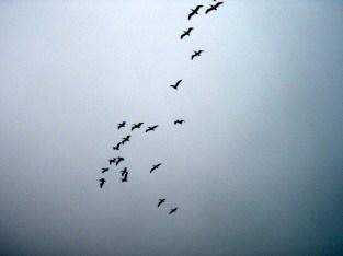 Flock of.......Pelicans