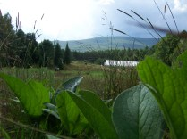 A view from the comfrey patch