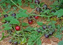 Blueberry Cherry tomatoes