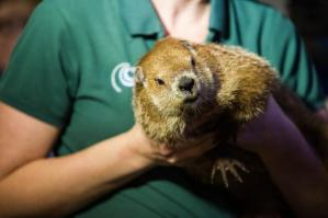 A woman holding Sir Walter Wally the groundhog