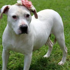 American Bulldog | Peach County Animal Rescue and Rehabilitation