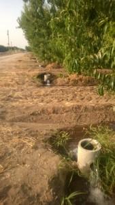 Last Irrigation?