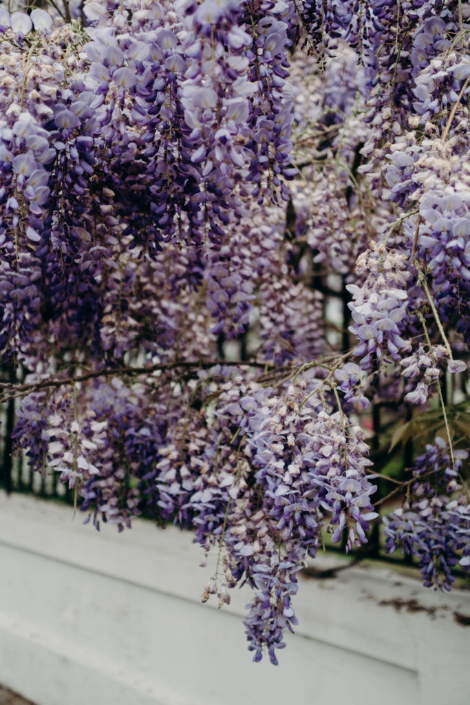 Wysteria florals