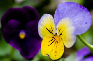 Pansy1