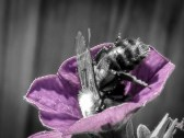 Bee collecting Pollen from a Petunia