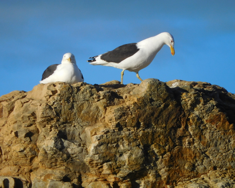 Pacific Gulls by Jane Williams