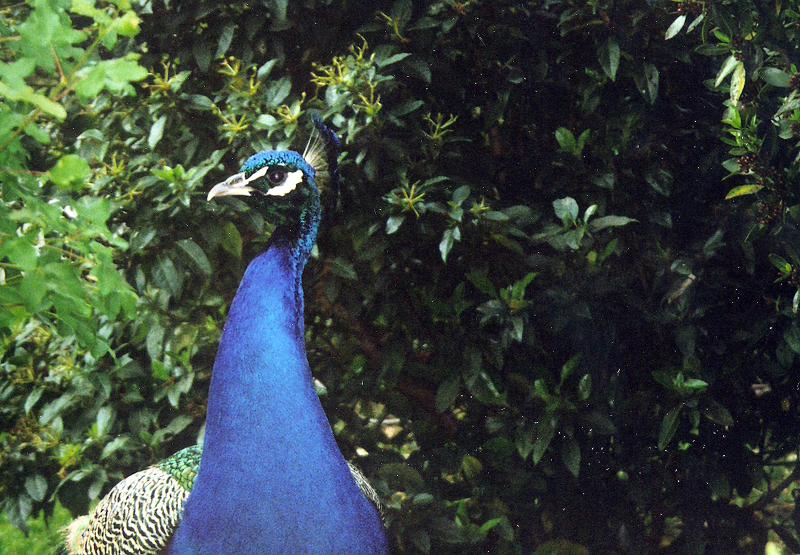 Bagatelle Peacock