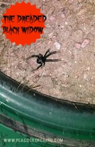 The Dreaded Black Widow
