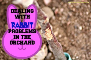 Dealing with rabbit problems in the orchard