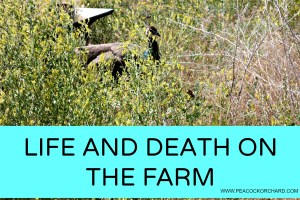 Life and Death on the farm