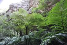 Ward Canyon - Giant Tree-ferns
