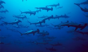 CITES in Bangkok :  Scalloped Hammerhead Shark