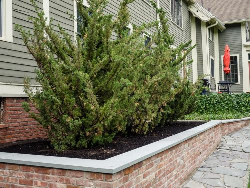 "Juniperus chinensis 'Robusta Green"""