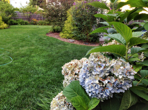 Pee Gee Hydrangea – An impressive eye catcher behind a hedge border!