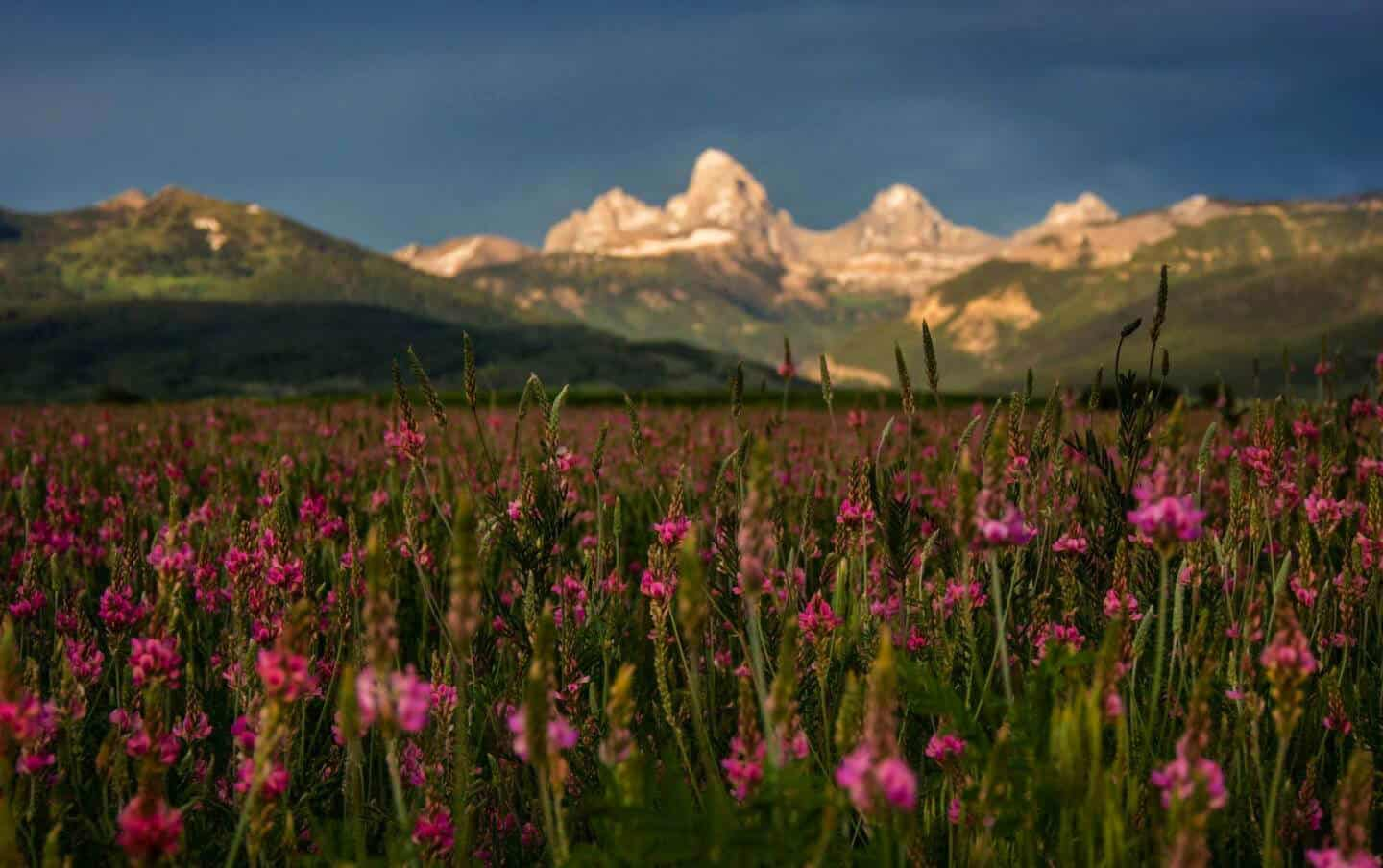 Alta Wyoming Fireweed in bloom marks the transition from Fall to Winter.