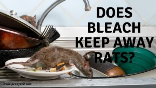 Does Bleach Keep Rats Away?