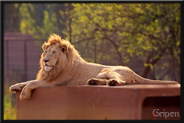Lion - Rhino and Lion Park - PeanutGallery247