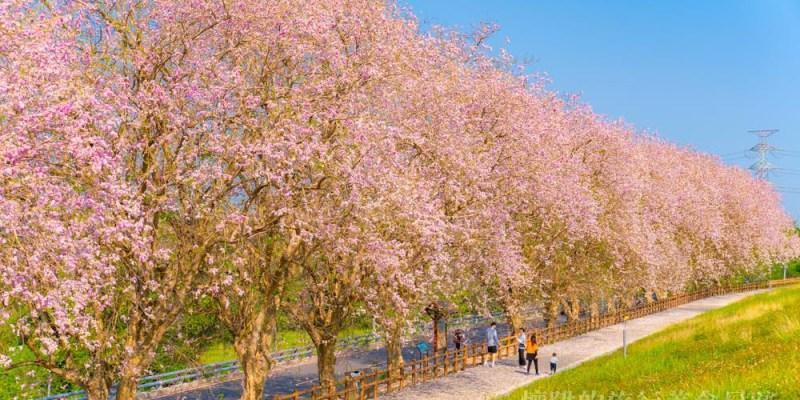 【台南櫻花】浪漫小粉紅!烏山頭水庫南洋櫻盛開,在香榭大道與粉紅櫻花有約