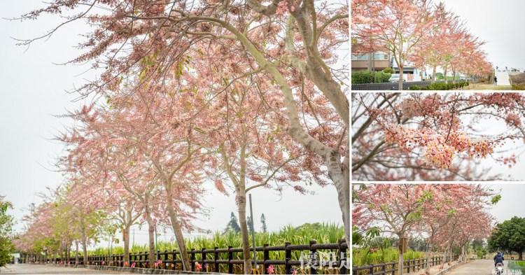 台南賞花|浪漫盛開的粉紅步道,西港金砂里花旗木步道,還有黑芝麻迷宮