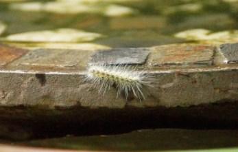A Fall Webworm Caterpillar.
