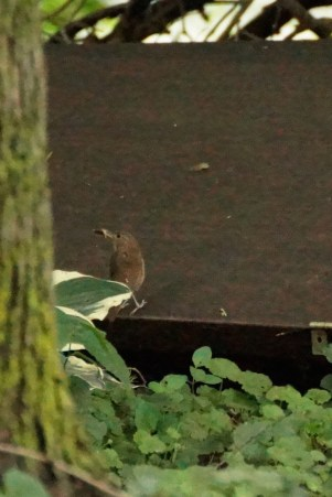 A House Wren with its lunch.