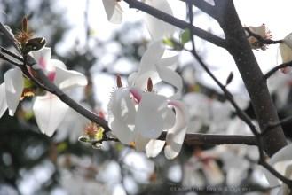 magnolia shadow