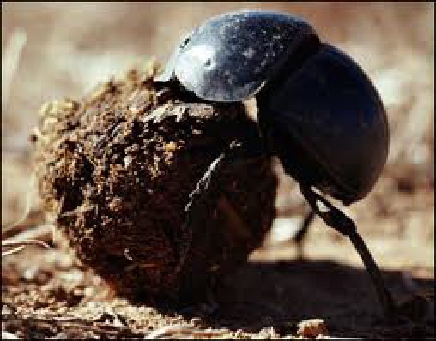 The Dung Beetle Versus The Pied Piper Pearlsofprofundity