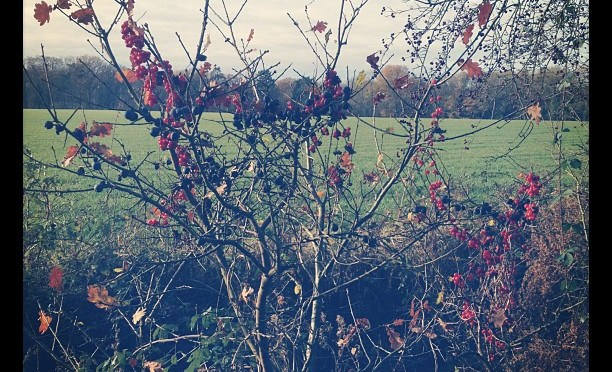 Do loads of berries mean a cold winter?