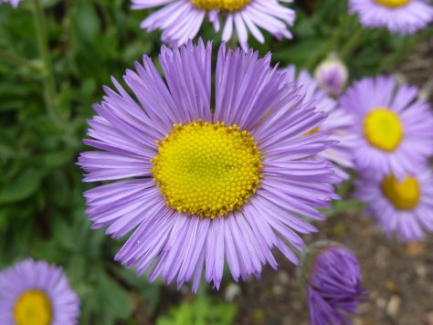 Erigeron Sea Breeze