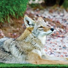Coyote photo by Ruth Bindler.