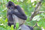 Lamanai Mayan Ruins Spider Monkey