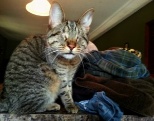 Pebbles the Blind Cat observes Mom folding laundry