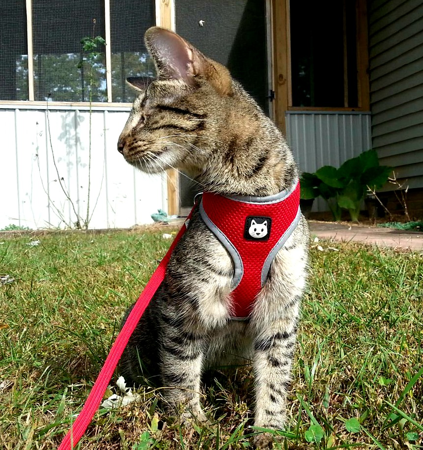 Pebbles the Blind Cat outside on harness
