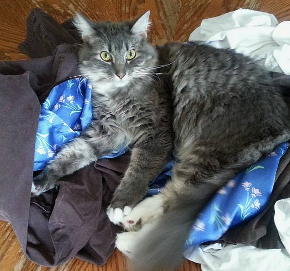 Cat rules don't fold laundry Pebbles the Blind Cat
