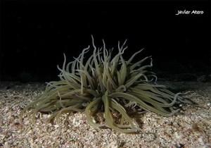 Anemonia Sulcata