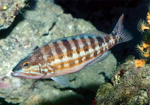 Serranus Cabrilla