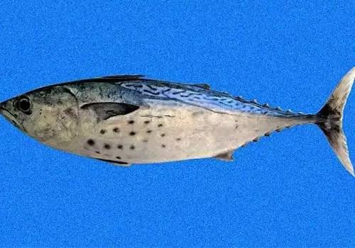 Euthynnus-alletteratus
