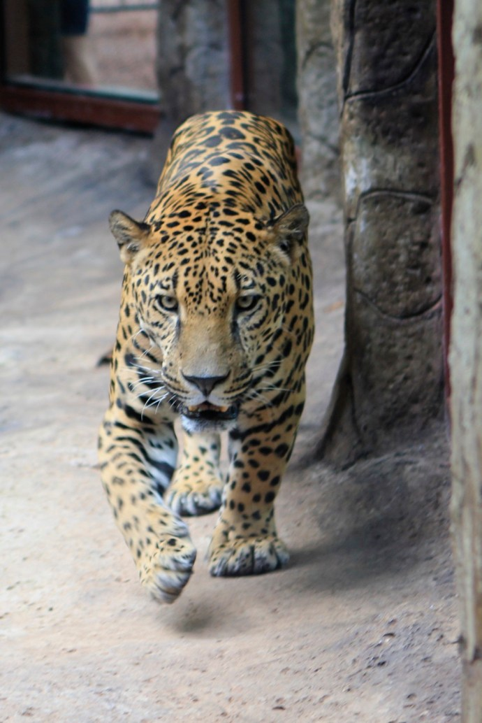 Male Jaguar.