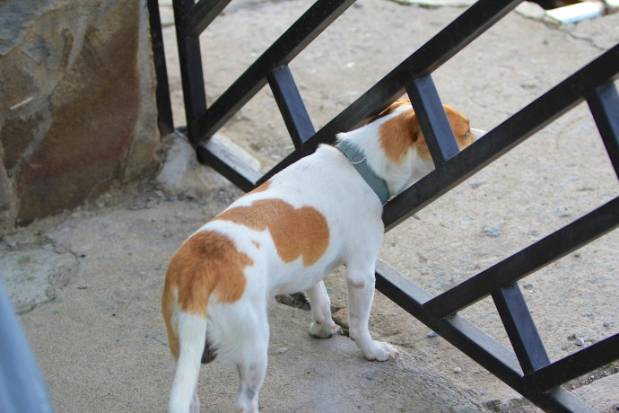 Odie keeping an eye on things from inside our gate.