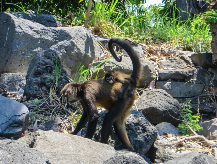 We saw several of these Spider Monkeys, as well as Howler and Capuchin Monkeys