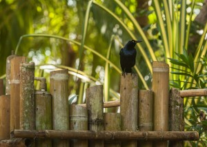 Great-tailed Grackle sitting on our outdoor shower.