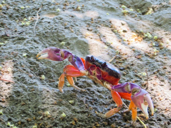 These Halloween (Tajalines) crabs are pretty when you first see them. Then you discover that they are the most prevalent burrowers you have ever seen. They can turn your yard into a battle zone overnight.