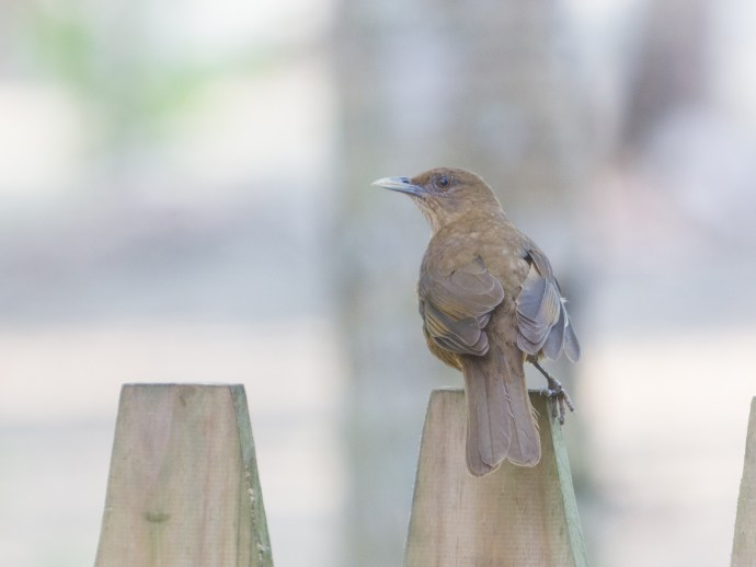 The national bird of Costa Rica. The Clay-coloured Robin (Yiguirro) on our back gate.