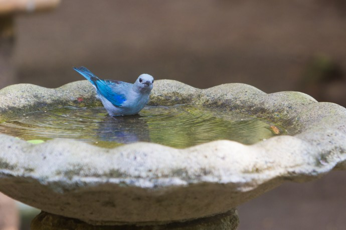 Wonderfully coloured Blue-grey Tanager grace our bird bath regularly now.