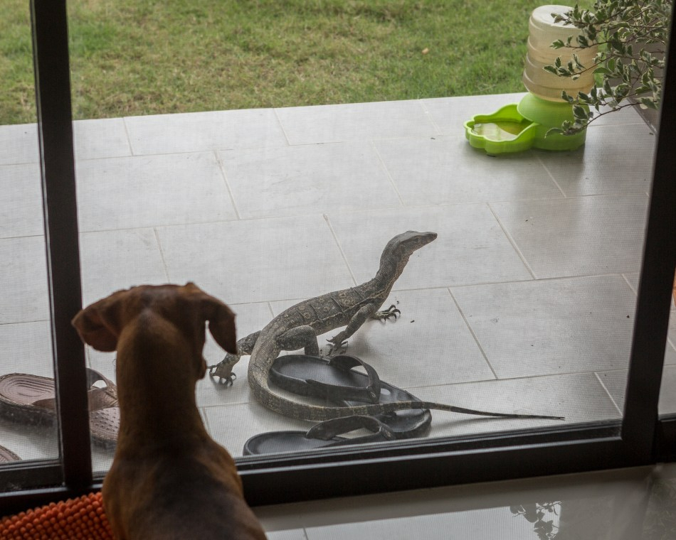 Monitor Lizard at the house