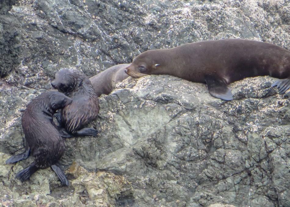 Fur Seal Cubs